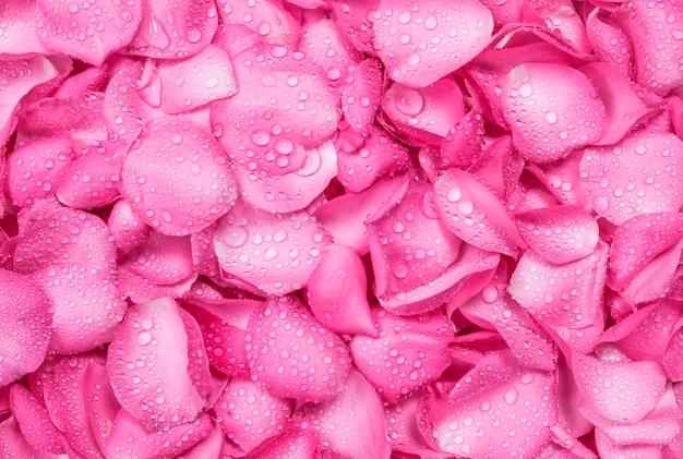 물방울과 신선한 분홍색 장미 꽃잎 배경