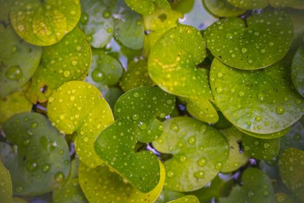 背景の使用のための水滴を持つ淡水植物