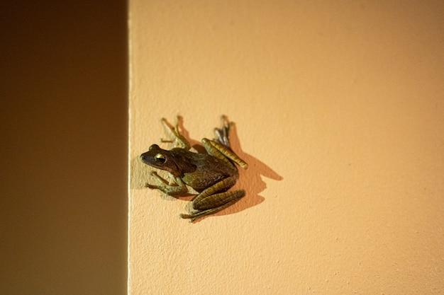 カエルは壁に座っています。吸盤カエル
