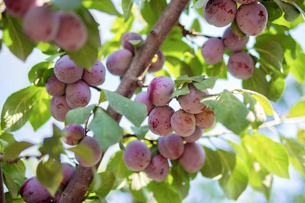 Плоды сливового дерева висят на ветке. выращивают сливы на дачном участке. собственный сад.