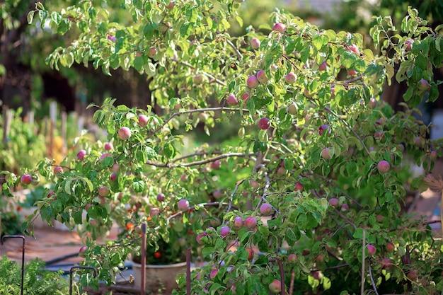 Плоды сливового дерева висят на ветке. выращивают сливы на дачном участке.
