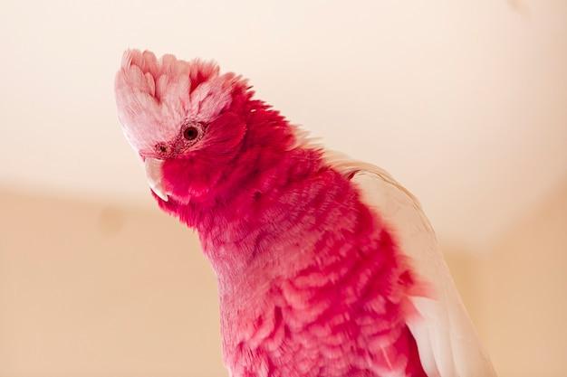 ピンクとグレーとしても知られるモモイロインコ(eolophus roseicapilla)は、最も一般的で広く普及しているオウムの1つです。