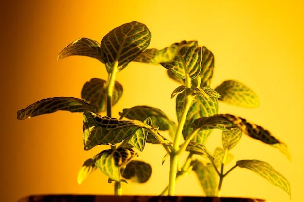노란 벽에 일몰 태양과 집 식물의 그림자 게임.
