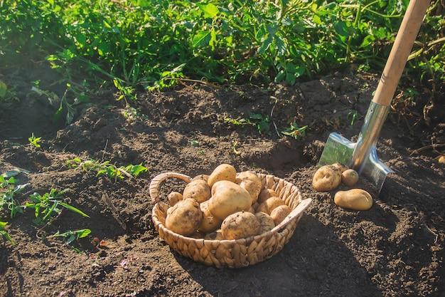 庭はシャベルでジャガイモを収穫します。