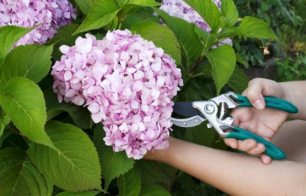 정원사는 정원 가위로 정원에서 수국 꽃을 자른다. 정원 작업, 식물 관리의 개념입니다.