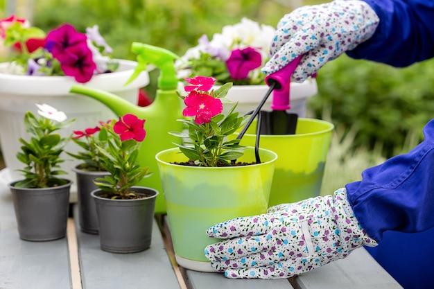 Красивые яркие однолетние цветы садовник выращивает в горшках. петунии и катарантусы. содержание садового центра