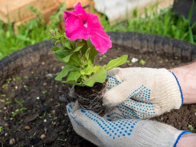 정원사는 밝은 꽃을 손에 들고 준비된 토양에 심습니다. 손에 장갑, 측면 보기입니다. 농업
