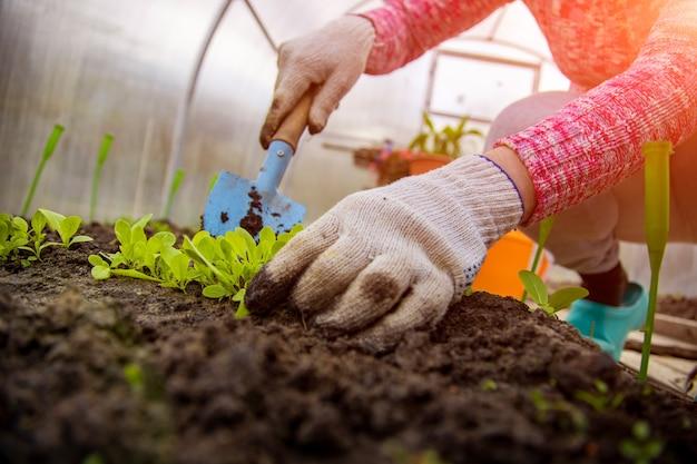 庭師は温室に若い植物を植えます。顔なし、クローズアップ