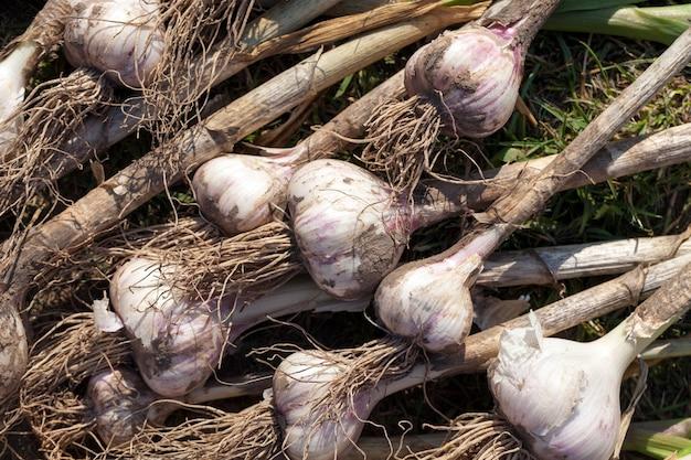 식물의 땅을 말리기 위해 들판에 쌓인 마늘 작물, 농업에서 수확한 마늘 작물