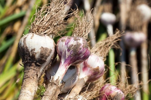 畑の領土に積み上げられたニンニクは、植物の土を乾かすために、収穫されたニンニクは農業で収穫されます。