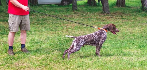 Немецкий короткошерстный пойнтер с хозяином во время прогулки по стадиону. утренняя прогулка с собакой