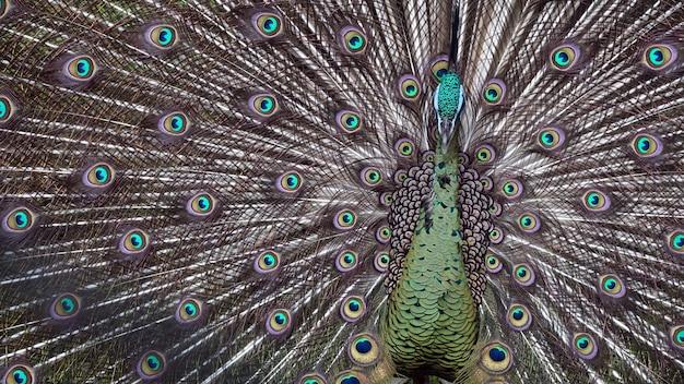 動物園の巨大な孔雀