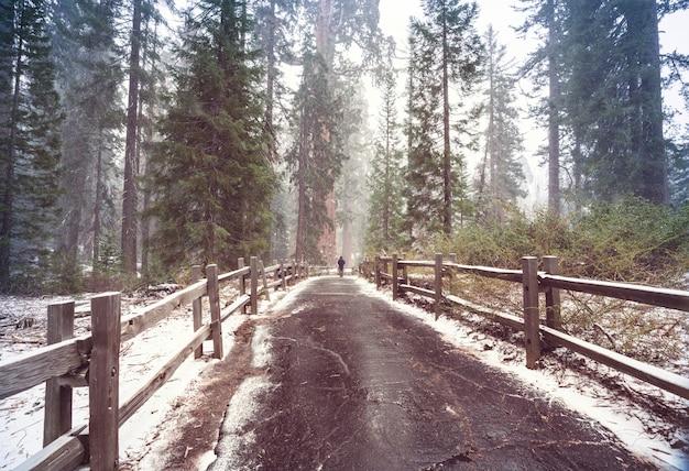 雪に覆われた巨大なセコイアの木の森