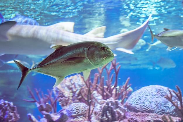 Lowly trevally, barrier trevally, giant kingfish 또는 ulua라고도 알려진 거대한 trevally (caranx ignobilis)