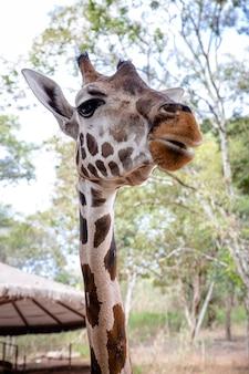 キリンはアフリカの偶蹄目哺乳類で最も背の高い生きている陸生動物です