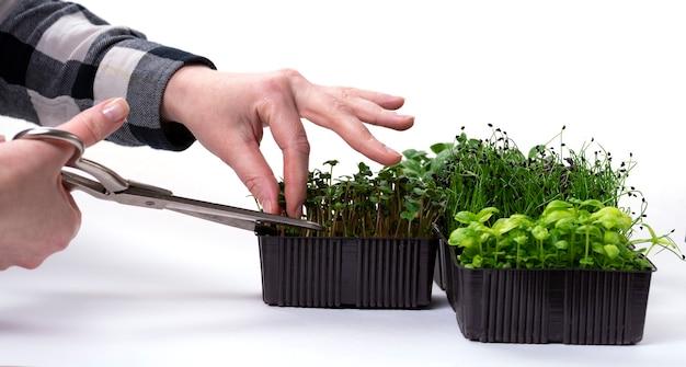 그 소녀는 가위로 어린 녹지의 싹을 자릅니다. 집에서 유용한 허브 마이크로 그린을 재배합니다.