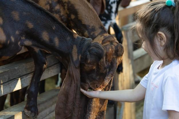 女の子は動物園でヤギに餌をやる