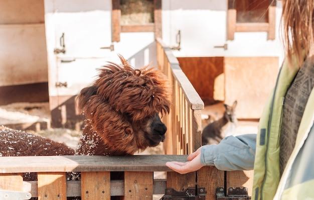 少女は手からラマに餌をやる。哺乳類は家族の農場の囲いの中にいて、赤いふわふわの毛皮のようなラマです。ふわふわアルパカのポートレート。ラマはペルーの農場の牛です。