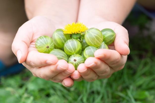 女の子は彼女の手で一握りの熟した緑のグーズベリーを持っています