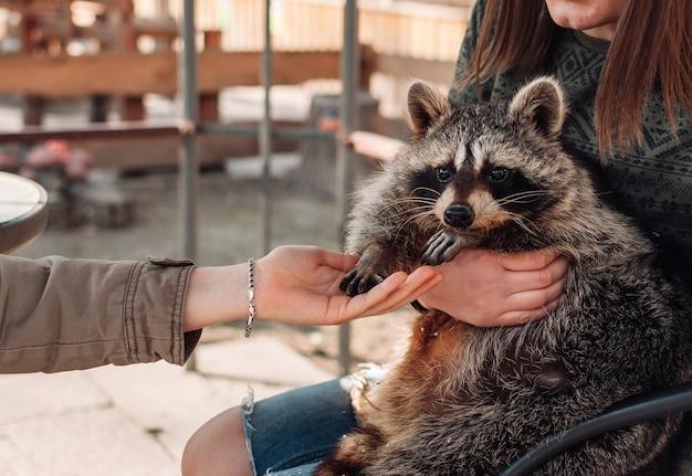 소녀는 팔에 너구리를 안고 있습니다. 두 번째 소녀는 그에게 손을 내밀었다. 귀여운 솜털 같은 수컷 너구리. 동물원의 새장에 갇힌 길들인 너구리. 선택적 초점