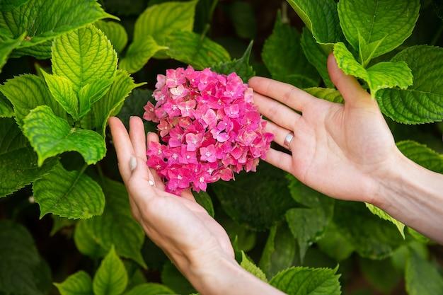 女の子はピンクの明るい色の大きくて密なアジサイの花の近くに手を握ります。閉じる。