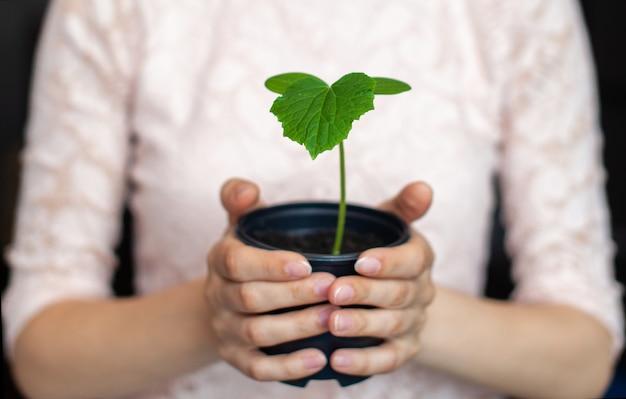 Девушка держит черный горшок с зеленым растением на темном фоне. рассада огурцов в горшке, готова к посадке в грунт. защита окружающей среды. уважение к природе Premium Фотографии