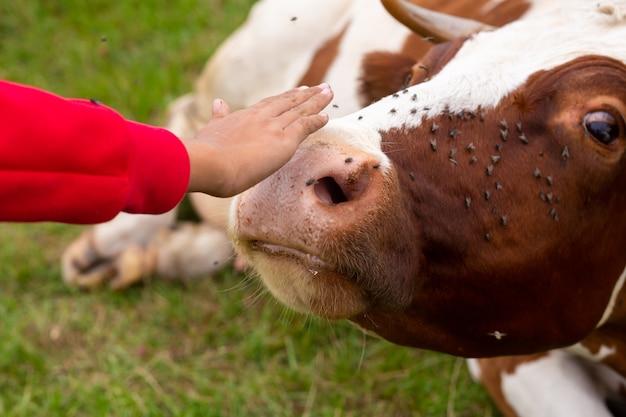 牧草地で休んでいる牛の鼻を撫でる少女