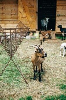 山羊農場の庭で山羊が放牧する