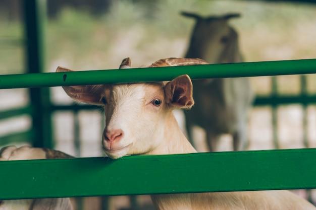 ヤギは立っていて、緑の鉄の囲いから突き出ていました。