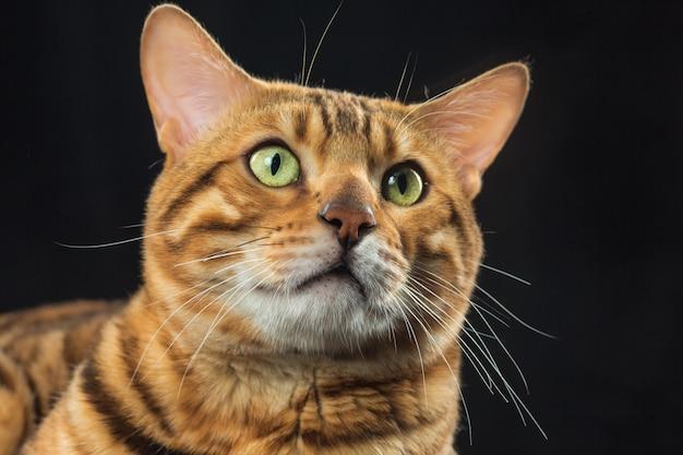 검은 공간에 금 벵골 고양이