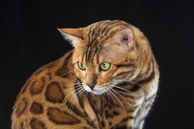 Золотой бенгальский кот