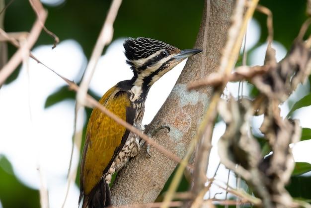 金色の頭のキツツキは、くちばしが乾いた木に突き刺さった状態で採餌していました