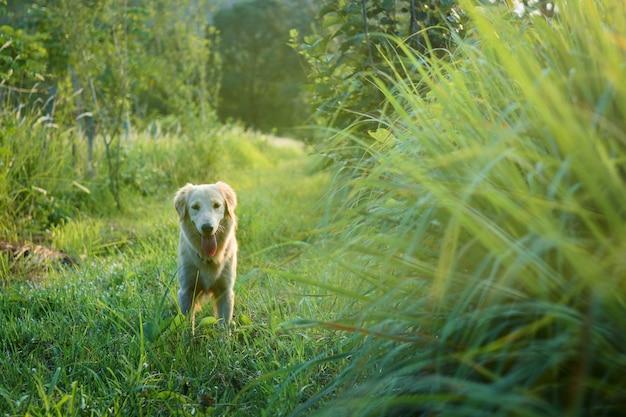 소유자를 찾고 골든 리트리버 강아지입니다. 정원에서 행복하게.