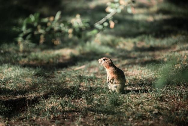 Суслик стоит в зеленой траве
