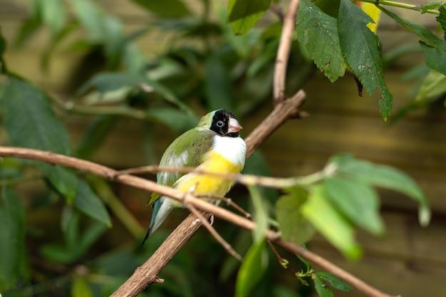 Гульдова зяблик или маленькая птичка erythrura gouldiae, сидящая на ветке дерева между зелеными листьями