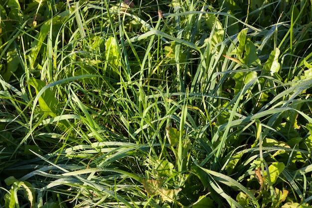 Трава покрыта каплями воды и росы летом, зеленый цвет сорняков.