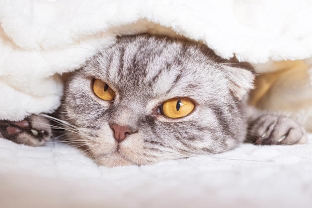 Серая шотландская вислоухая кошка лежит в теплой бежевой клетке.