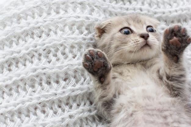 Серая шотландская вислоухая кошка спит в теплой бежевой клетке.