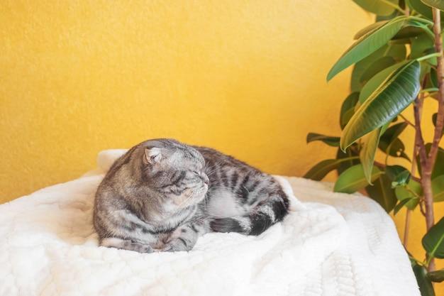 Серая шотландская вислоухая кошка спит, закутавшись в теплый бежевый плед.