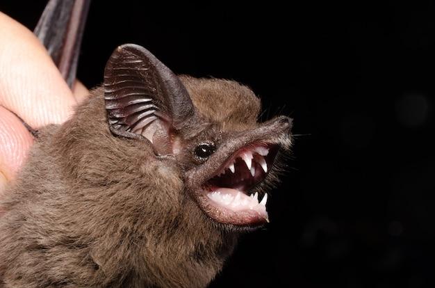 큰 개 같은 박쥐는 박쥐 종입니다