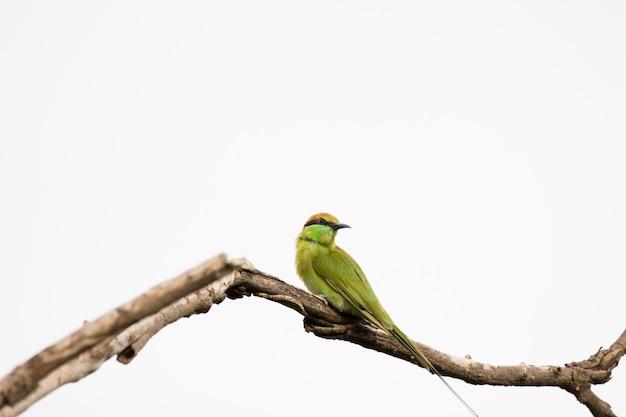 녹색 beeeater merops orientalis는 나뭇가지에 쉬고 있는 작은 녹색 beeeater로도 알려져 있습니다.