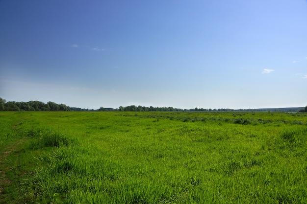 Зеленая трава на поле и голубое небо, маленькие облака