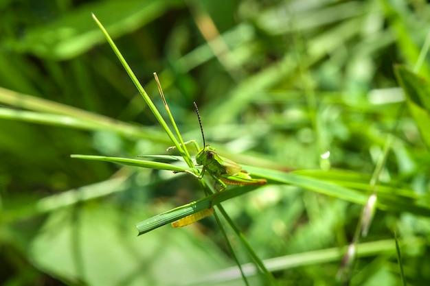 Зеленый кузнечик прячется в траве. дикая природа. мимикрия. макро.
