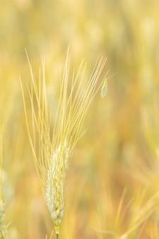 Зеленая златоглазка - chrysopa carnea - поедает тлю на пшеничном поле