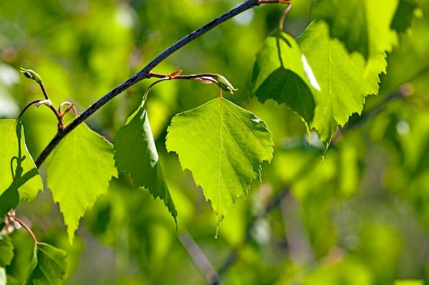 白樺の緑の葉をクローズアップで撮影。鋭さの深さが浅く、木の後ろに日光が当たる
