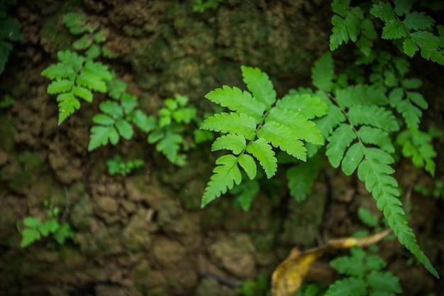 Зеленые листья папоротника или вайи - это не цветущее растение, которое размножается спорами.