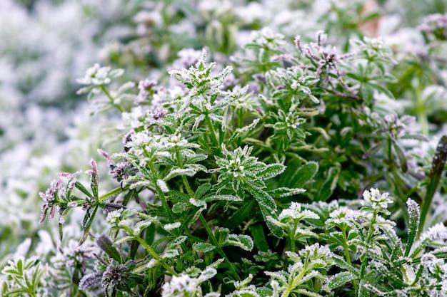 植物の緑の葉は霜で覆われています