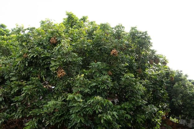 田舎の緑のリュウガンの木は果物でいっぱいです