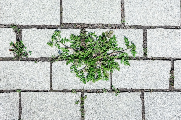 식물의 녹색 새싹은 포장 석판 사이의 틈을 통해 이동합니다.