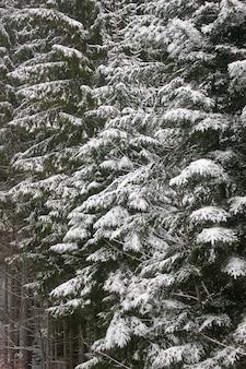 Зеленая ель, покрытая снегом. зимний пейзаж.